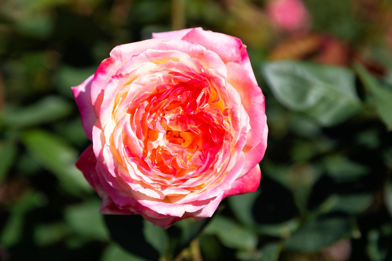 優美なバラ、ミラマーレ