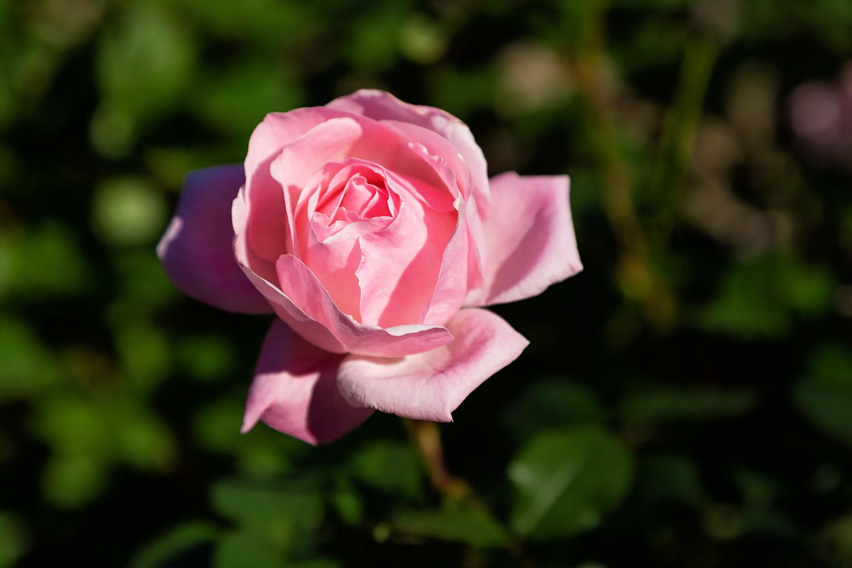 ピンクのバラ、クイーンエリザベス