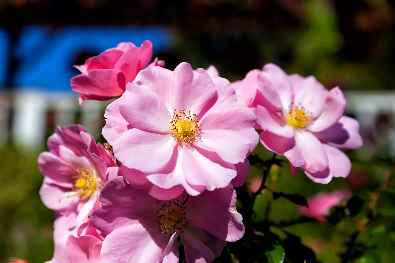 ソフトパールピンクのバラ、クィーンマザー