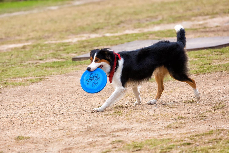 フリスビーをする犬 無料壁紙 商用利用可の画像素材ならfotoma
