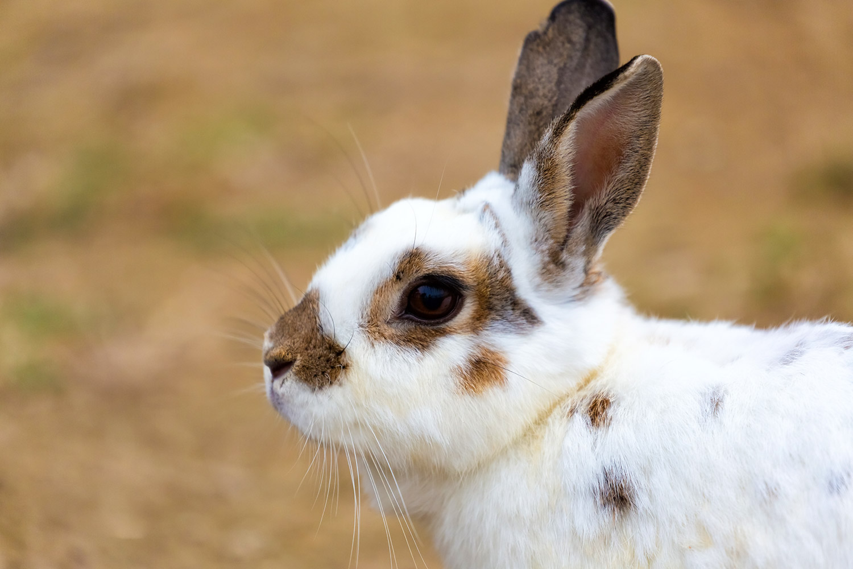 ウサギの横顔 無料壁紙 商用利用可の画像素材ならfotoma フォトマ