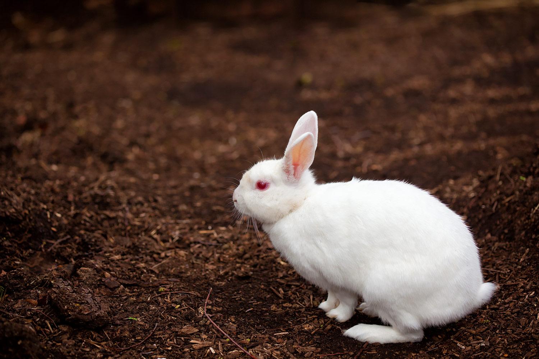 赤い目をした白ウサギ