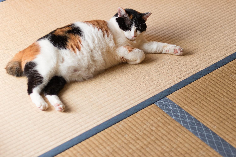 畳で休む三毛猫