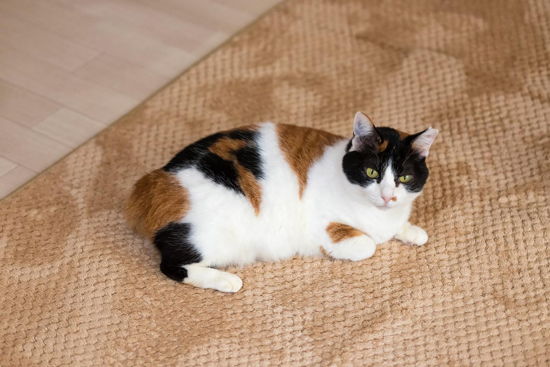 じゅうたんに寝そべる三毛猫
