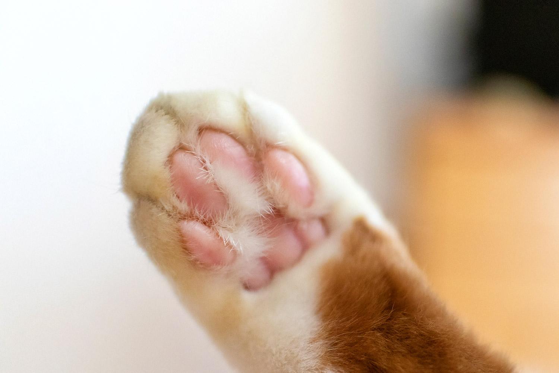 茶白ネコのピンクの肉球