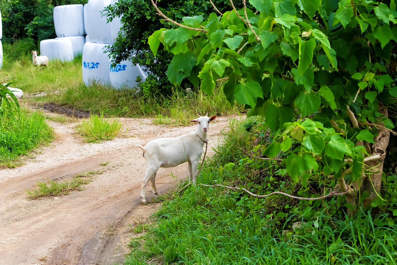南国の牧場でロープに繋がれている白ヤギ