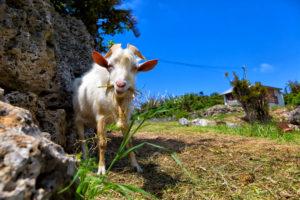 青空の下で美味しそうに草を食べるヤギ