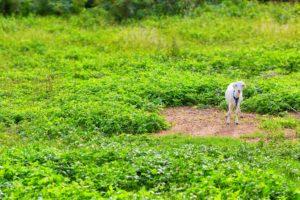 「このあたりの雑草を食べました」と白ヤギさんがぽつん。