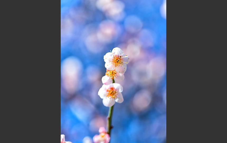 快晴の空にはえる白い梅の花