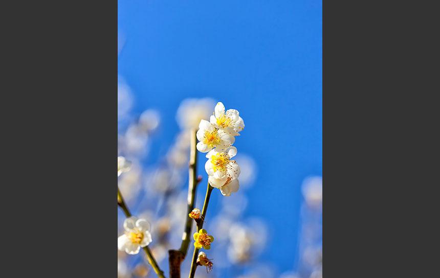 陽射しを浴びてヨモギ色に輝く梅の花