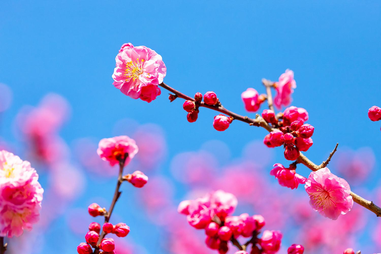 ピンクの梅の花 無料壁紙 商用利用可の画像素材ならfotoma フォトマ