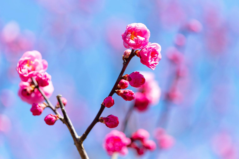 梅の花、ピンクの花弁に黄色の雌しべ
