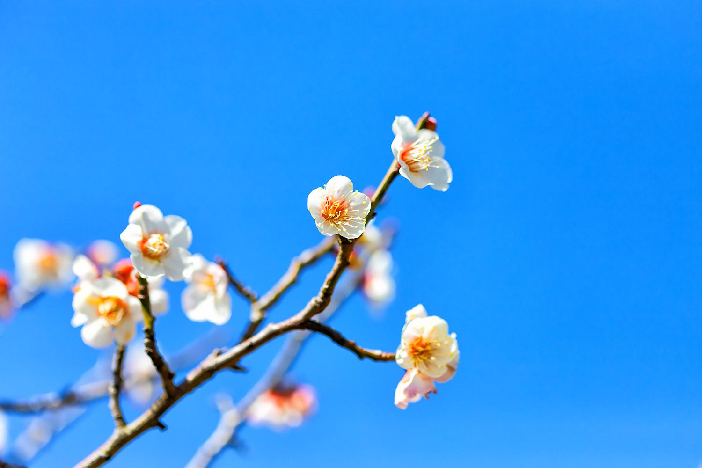 青空をバックにした白い梅の花 無料壁紙 商用利用可の画像素材なら
