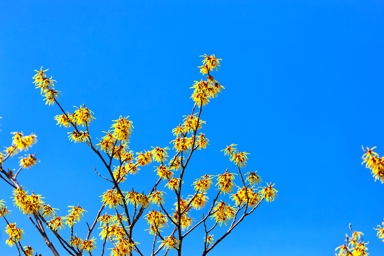一足早く春に咲く花 マンサク 無料壁紙 商用利用可の画像素材なら