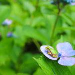 紫のアジサイの花に座るアマガエル