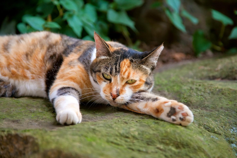 薄い色をした三毛猫さん 無料壁紙 商用利用可の画像素材ならfotoma フォトマ