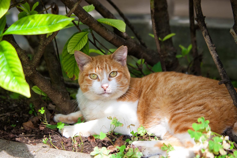 木陰でくつろぐ可愛い茶白のネコ 無料壁紙 商用利用可の画像素材