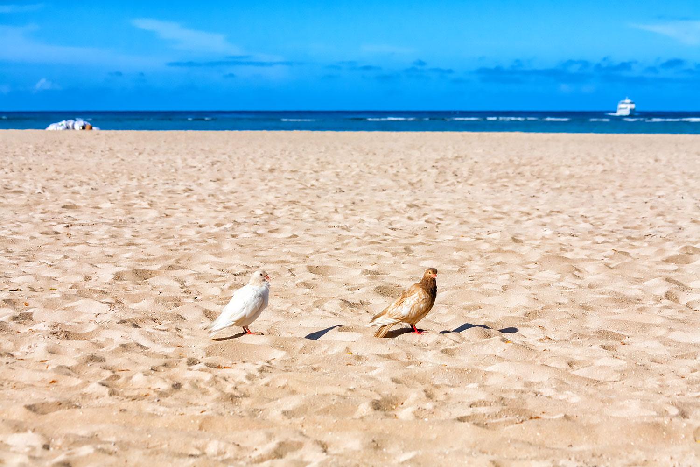 ハワイのハト