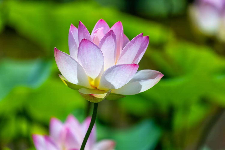 フリー素材・ハスの花