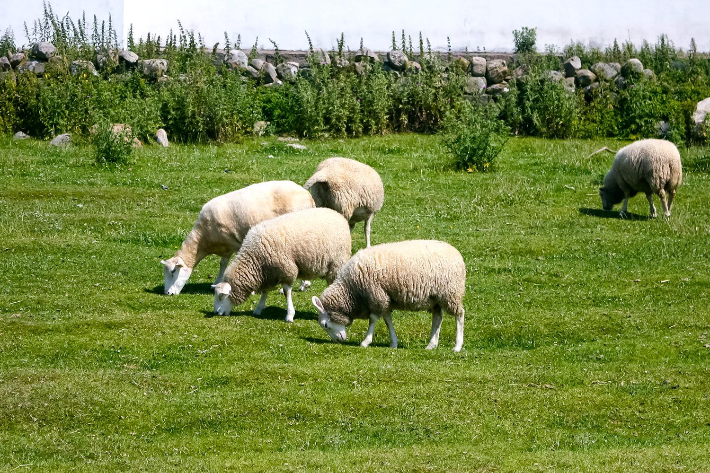 北欧スウェーデン ヴァールベリの羊さん 無料壁紙 商用利用可の