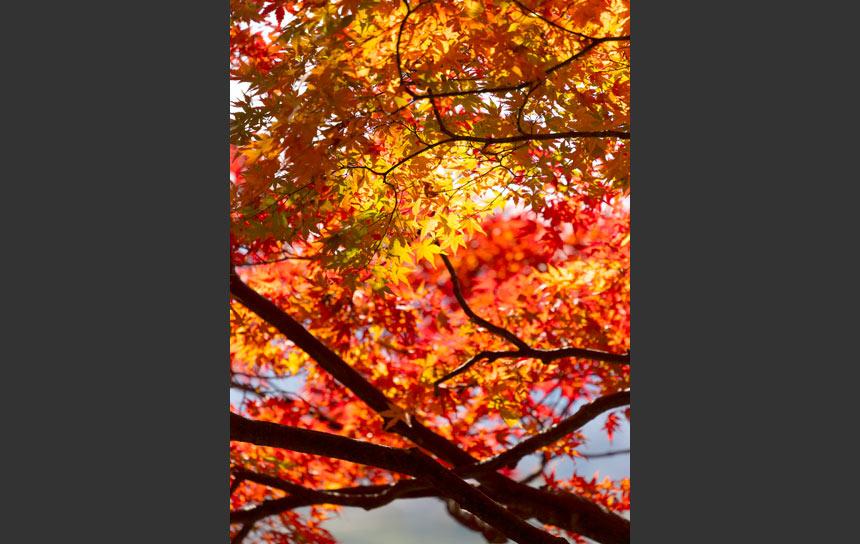 真っ赤に染まった晩秋の紅葉