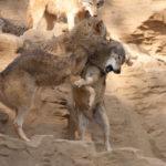 オオカミの生態とフリー画像集