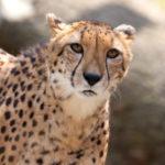 最速の動物、チーターのフリー画像集