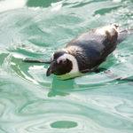 ケープペンギンのフリー素材と暮らし